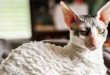 gatto con il pelo corto e arricciato