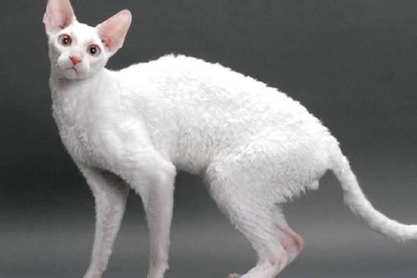 gatto di colore bianco