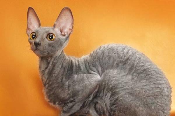 cornish rex di colore grigio