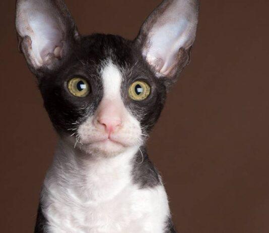 espressione concentrata del gatto