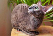 gatto a pelo cortissimo