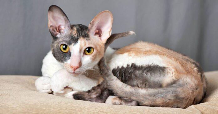gatto con la mutazione genetica rex