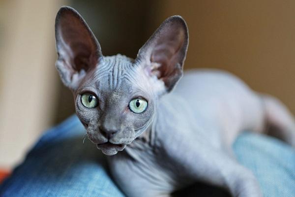 gatto Spynx accucciato
