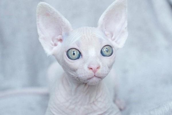 gatto Spynx bianco