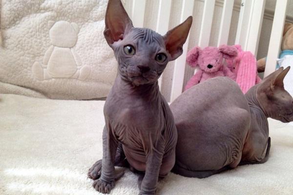 gatto senza pelo su divano