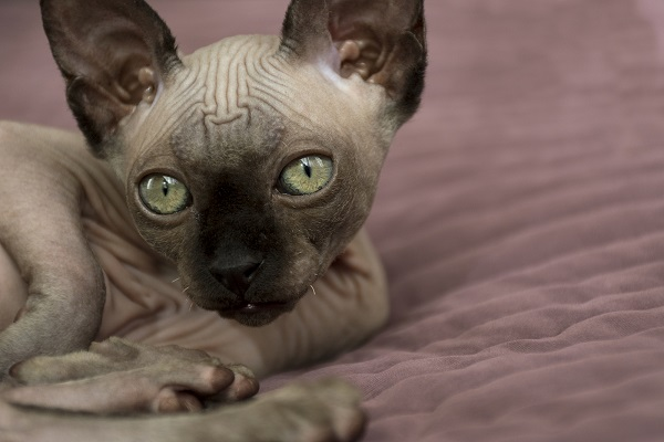 gatto di canadian Sphynx