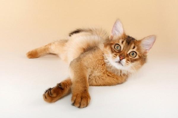 cucciolo di gatto somalo disteso