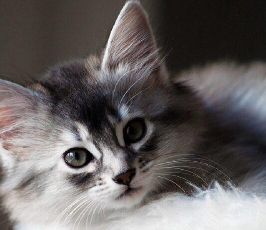 cucciolo di gatto somalo