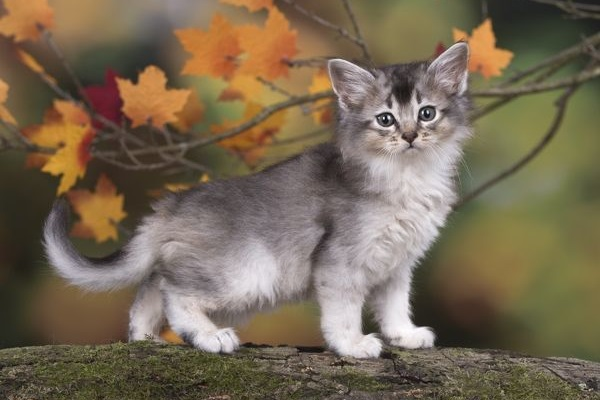 gattino somalo argentato