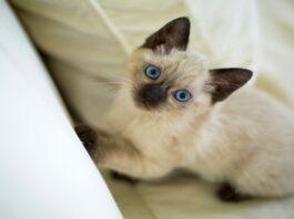 cuccioli di gatto thai