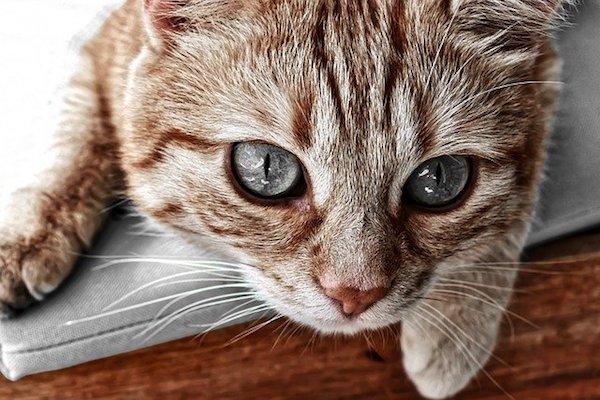 gatto con pelo simile alla tigre