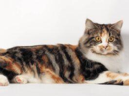 gatto di tre colori