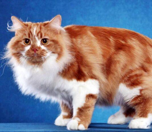 gatto senza coda