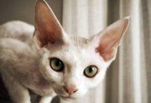 gatto a pelo molto corto e bianco