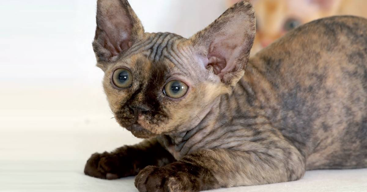 gatto con le orecchie molto grandi
