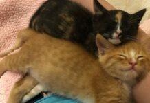 gatti fratelli si aiutano a vicenda salvataggio