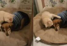 gattino consola cane cieco e malato
