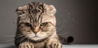 gattino da testate