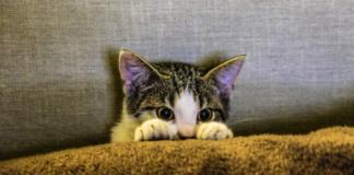 gattino graffia quando viene preso