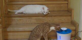Gatto pigro e gatto curioso scoprono la fontanella