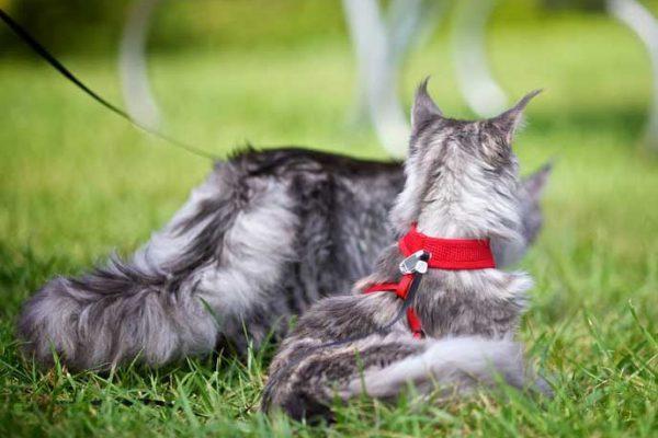gatto e pettorina
