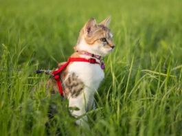 gatto con la pettorina