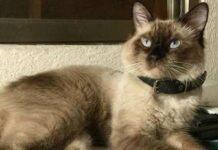 gatto vive due famiglie differenti stessa città