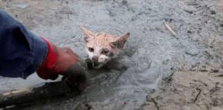 salvataggio gattp caduto pozza di fango