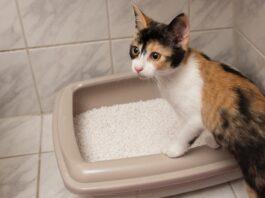 gatto che usa la lettiera