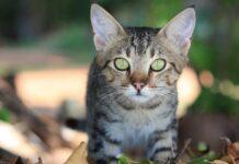 gattino in agguato