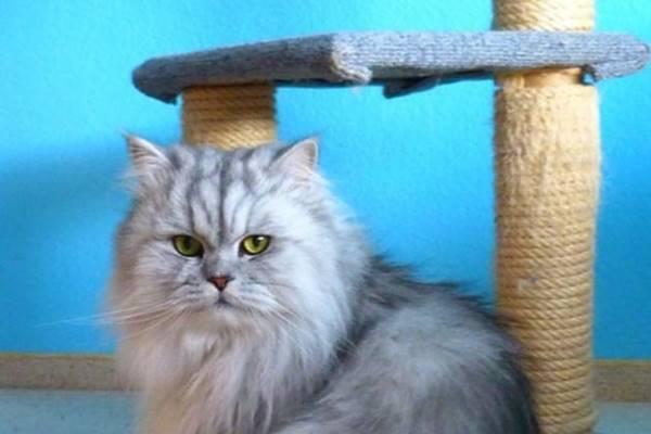 gatto persiano a pelo grigio
