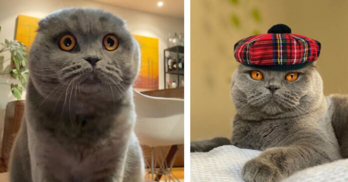 Atlas gattino Scottish Fold