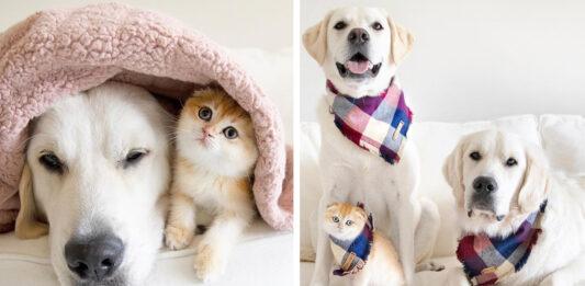 Gattino con due Golden Retriever