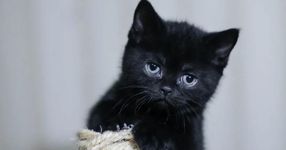 Gattino nero che osserva