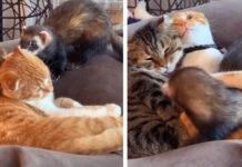 Gattini abbracciano una lontra