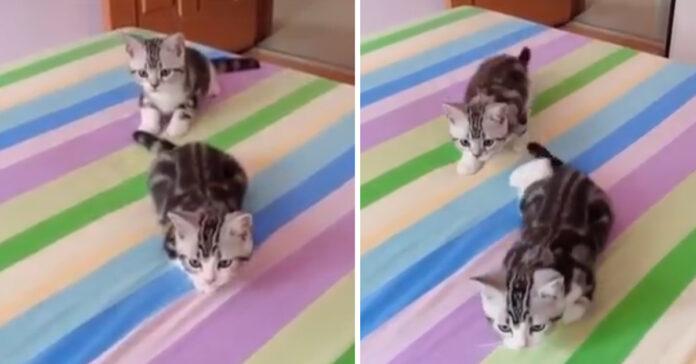 Gattini che attaccano