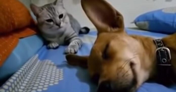 Gatto che osserva un cane