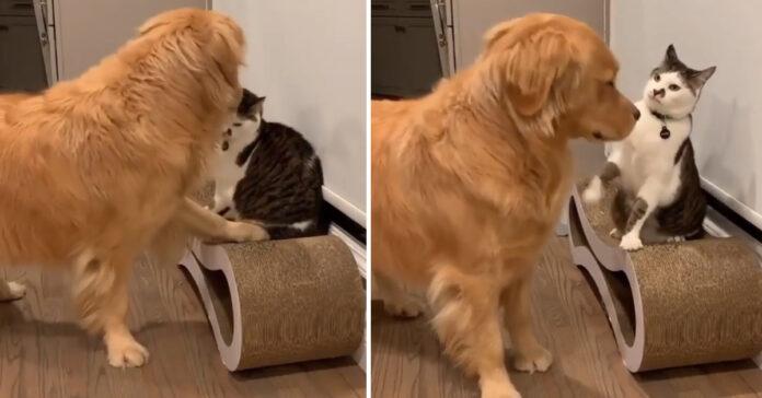 Gatto con un Golden Retriever