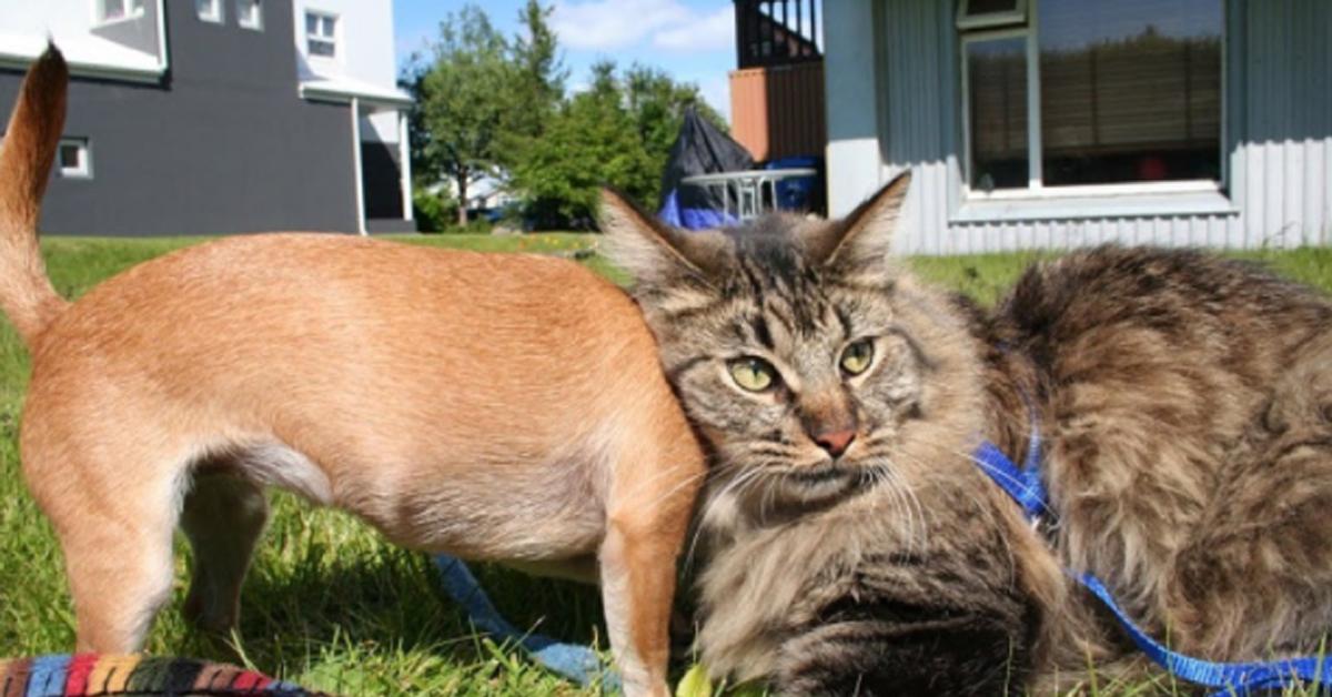 Gattino con un Chihuahua