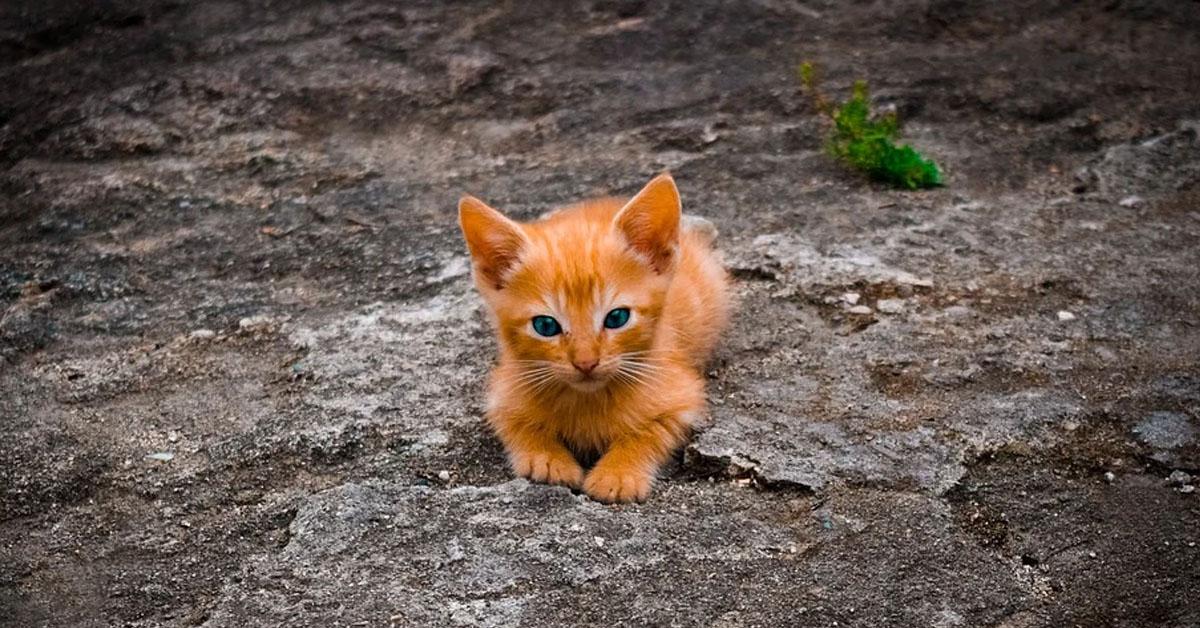 Gattino rosso che osserva