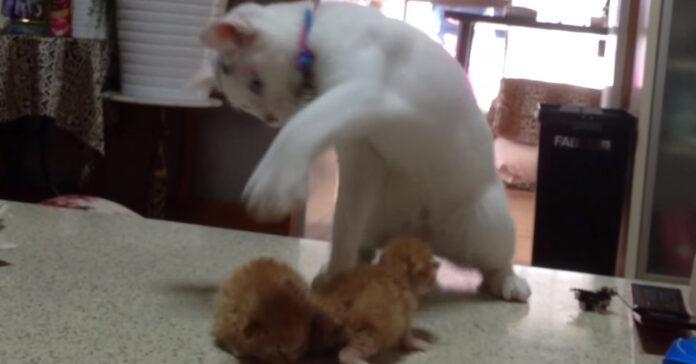 Gatto adulto gioca con gattini piccoli