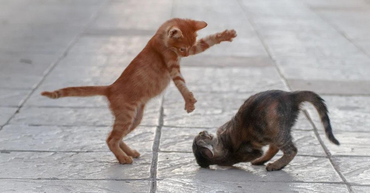 Due gatti che giocano