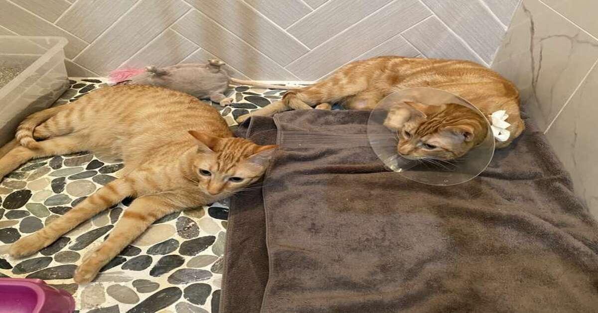 gatti che si coccolano