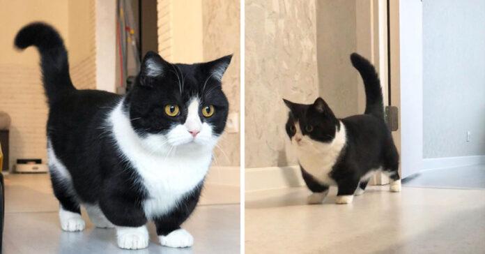Gattino con zampe corte