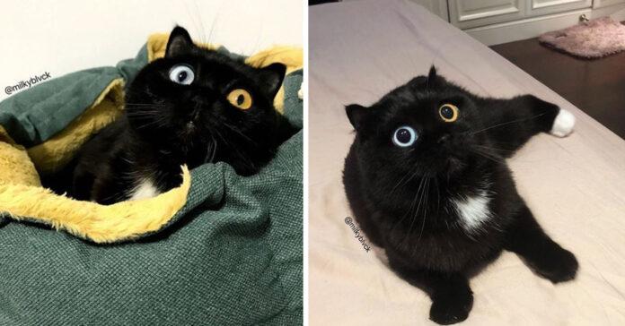 Gatto con occhi di colore diverso