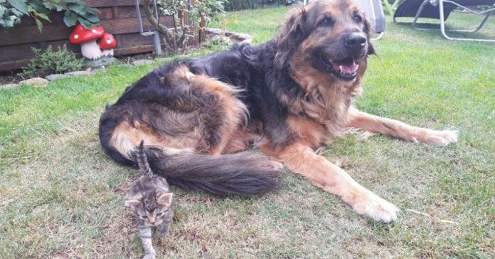 Gattino con un Pastore Tedesco
