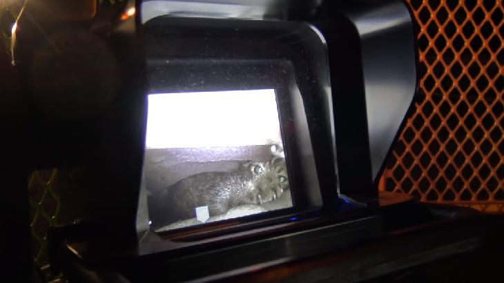 bellflower gattina intervento soccorso