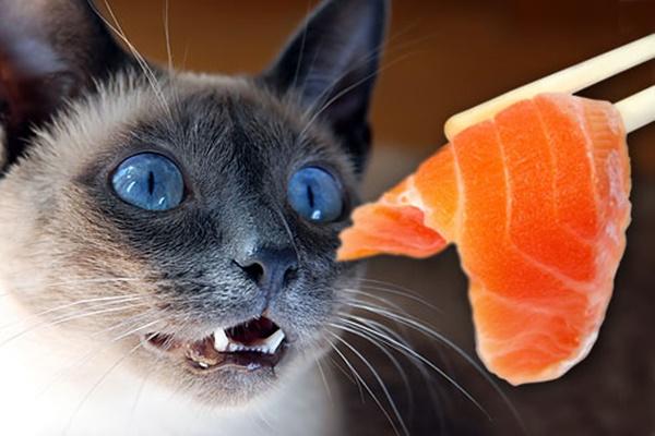 gatto siamese che guarda il salmone