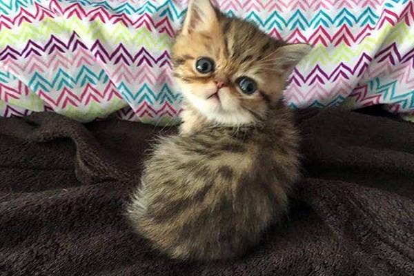 gattino con il mantello tigrato