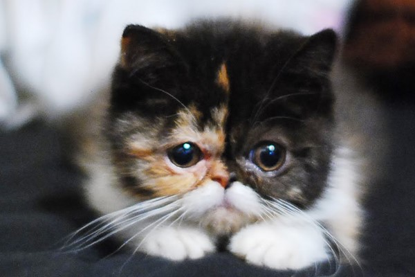 gattino brachicefalo
